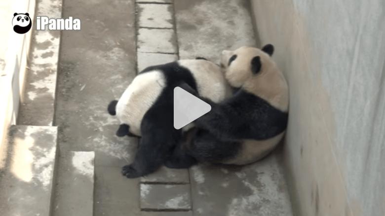 دب الباندا يضرب الرقم القياسي في ممارسة الجنس بالصين