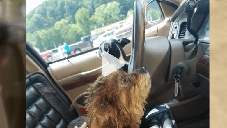 تطور الكلاب الفكري.. هذا الكلب يقود سيارة!