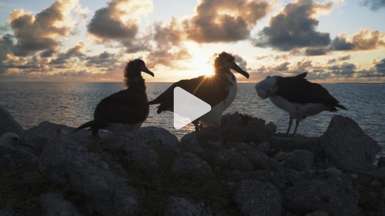 كل الطيور على هذه الجزيرة تأكل البلاستيك