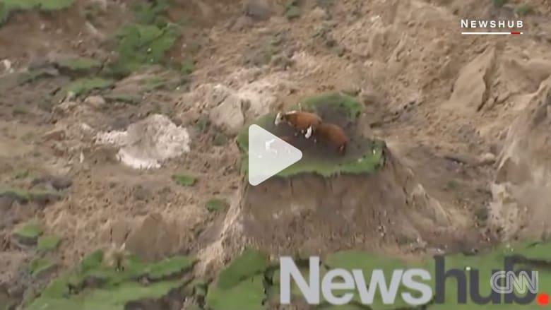 فيديو 3 أبقار نيوزيلندية عالقة بجزيرة وسط الزلزال يجتاح تويتر