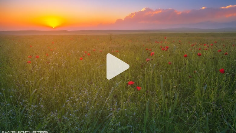 شاهد..حقول زهور الخشخاش الحمراء تزيّن أذربيجان