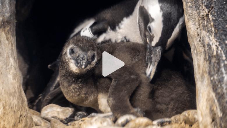 تعرف على العضو الجديد في عائلة البطريق الأفريقية
