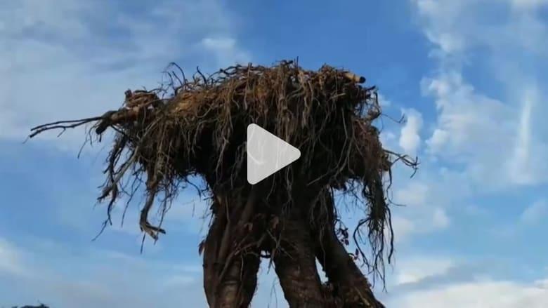 أشجار غريبة مقلوبة في تايلاند تثير اهتمام الزوار