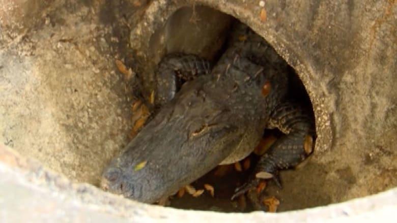 العثور على تمساح بمصرف مجار لبناية سكنية