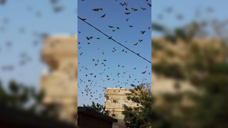 الخفافيش ترعب سكان محافظة بالسعودية