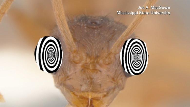 ما هو النمل المجنون؟