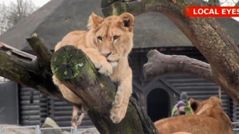 بالفيديو.. بعد قتل زرافة.. حديقة حيوان تقتل أربعة أسود