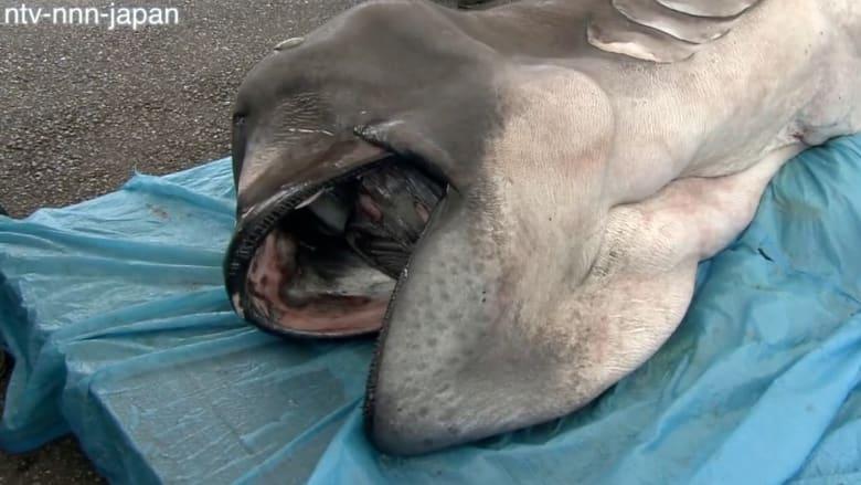 سمك القرش Megamouth يعرض لأول مرة في متحف