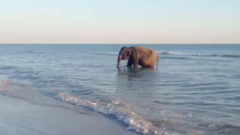 فيل يستحم بالمحيط وبطة بطول 40 قدما