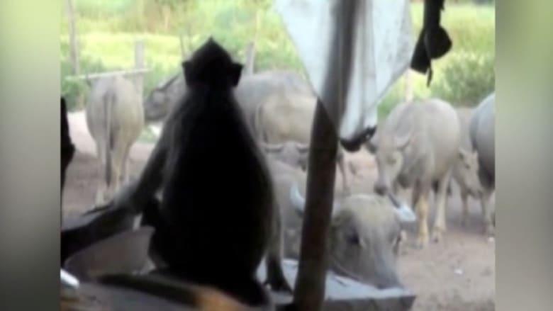 قرد يرعى الأبقار .. بكفاءة عالية وأجر زهيد