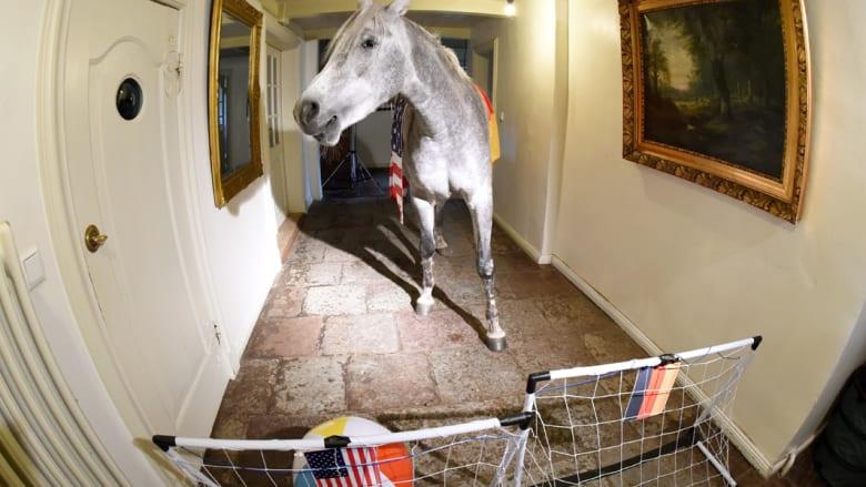 ناصر.. حصان عربي لا يعيش إلا داخل المنزل ويتكهن بمباريات كأس العالم