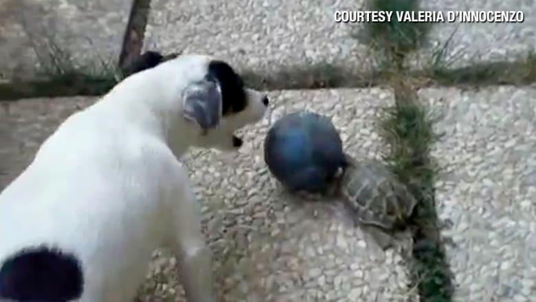 سلحفاة تنتقم من كلب بعد فوزه باللعب