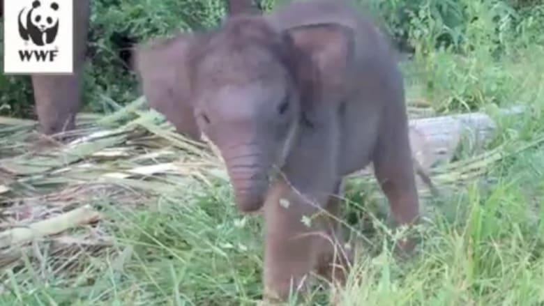 كيف يتعلم الفيل استخدام خرطومه؟