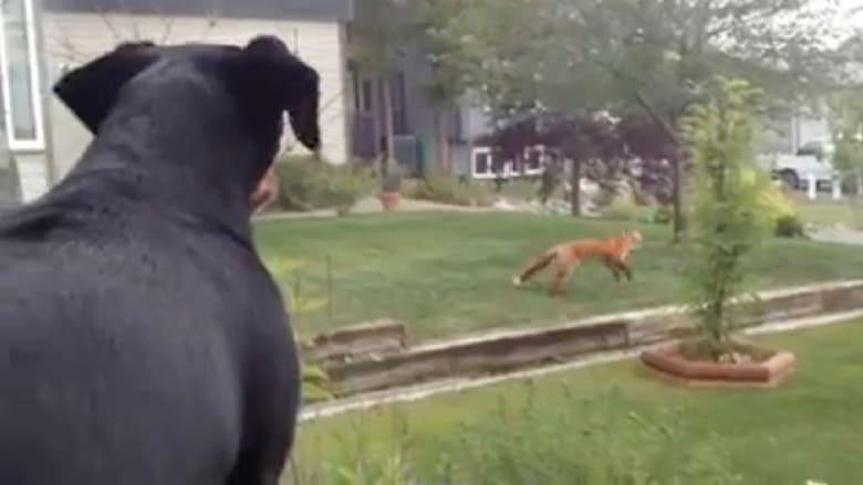 كلب ينزعج من ثعلب يشاركه ألعابه