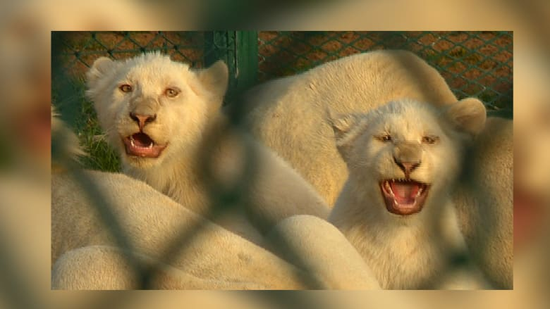لماذا يثير الاحتفاظ بالحيوانات البرية بالشرق الأوسط جدلاً؟