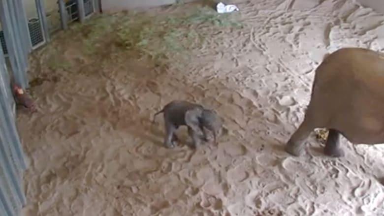 شاهد .. محاولة المشي الأولى لفيل حديث الولادة