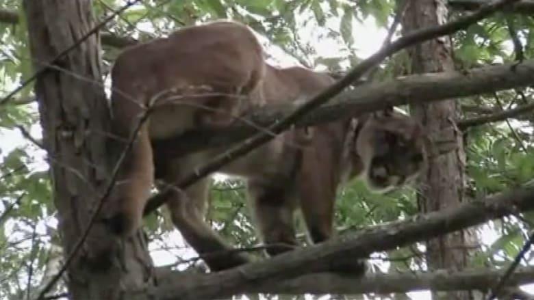 """بالفيديو.. كلاب تحاصر """"أسد الجبل"""" بعد شروعه بافتراس طفل"""