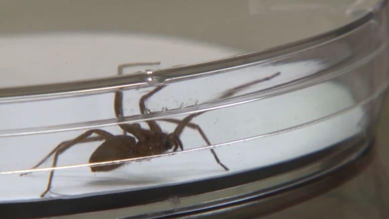 5000 عنكبوت في منزل واحد