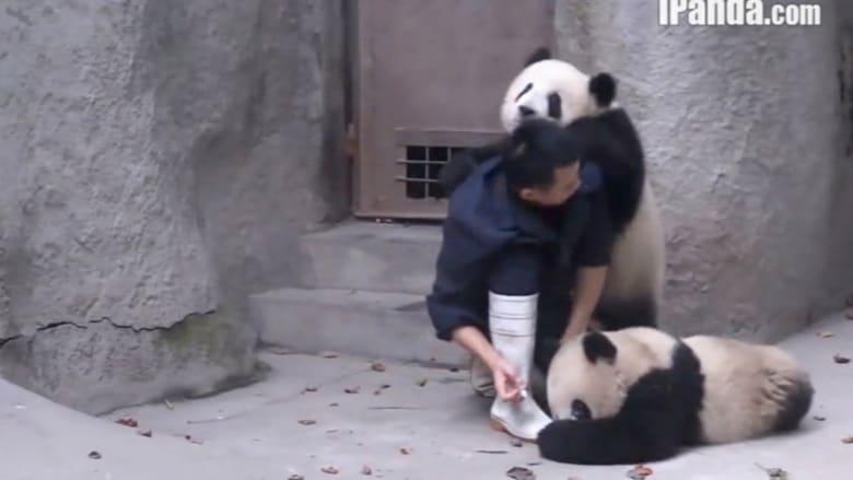 دبان من فصيلة الباندا.. وعراك طريف مع راعيهما