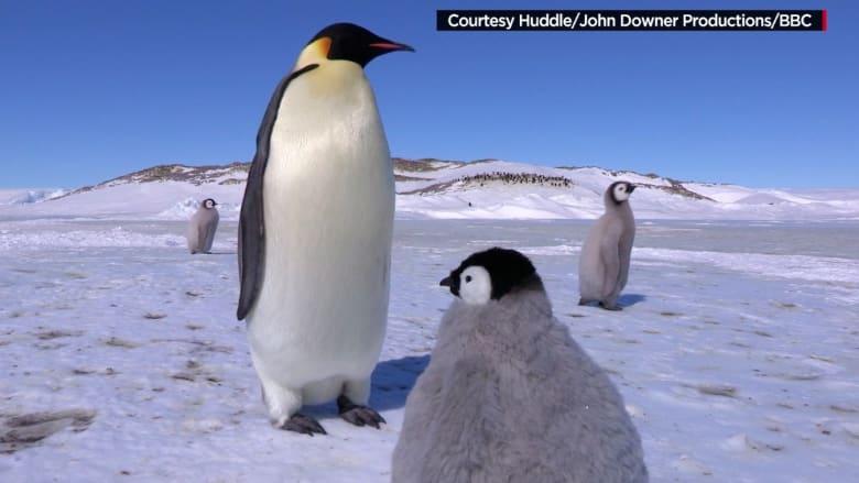 البطريق المندس.. ماذا يحدث حين تزرع جاسوساً بكاميرا في سرب البطاريق؟