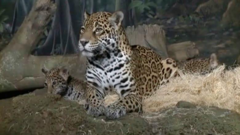 نمر يقتل شقيقته الصغرى.. ومدير حديقة الحيوان يفسر سلوكه