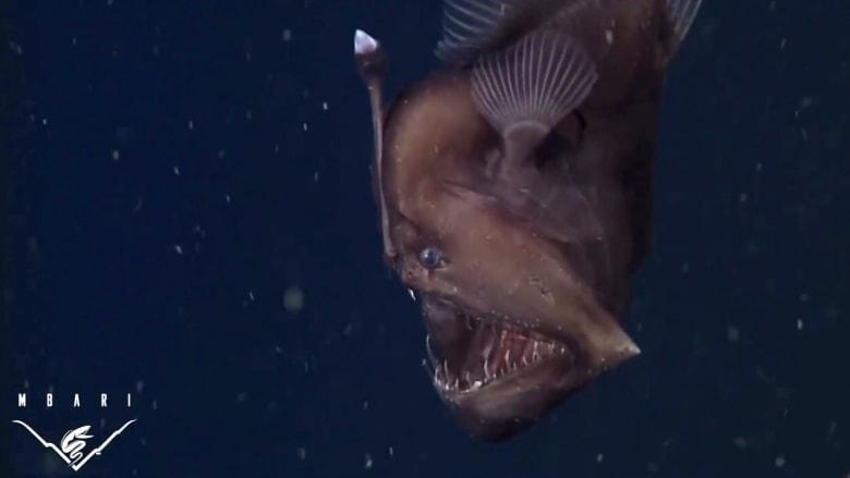 """سمك """"شيطان البحر"""" الأسود.. على رأسه مصباح ينيره لجذب الفريسة"""