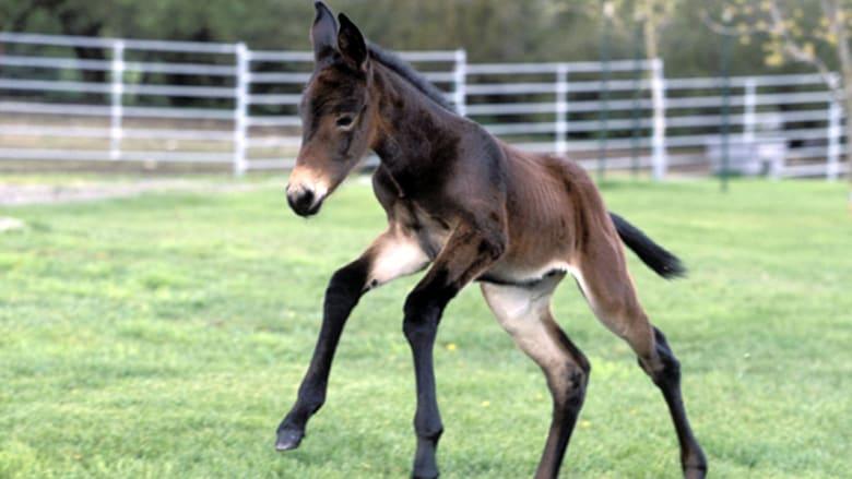 """عندما قال البغل """"الحصان خالي"""" ورد النغل """"الحمار خالي"""""""