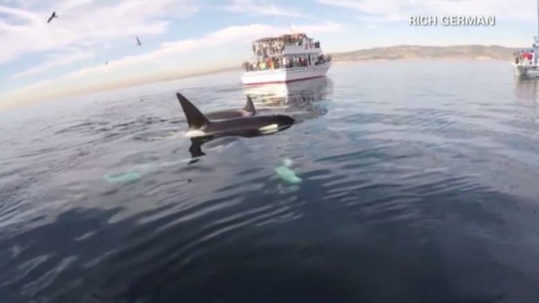 بالفيديو.. حيتان قاتلة على شواطئ كاليفورنيا وتحدي مكعبات الروبيك