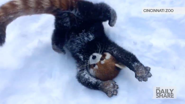 شاهد .. حيوانات تستمتع بالثلوج وكأنها تراها لأول مرة!