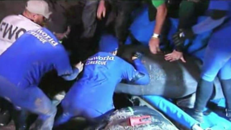 شاهد.. عملية إنقاذ خراف بحر عالقة في قنوات تحت الأرض