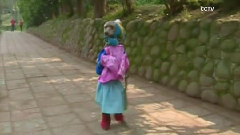 بالفيديو.. كلب بالزي المدرسي  ويسير في الشارع على قدميه