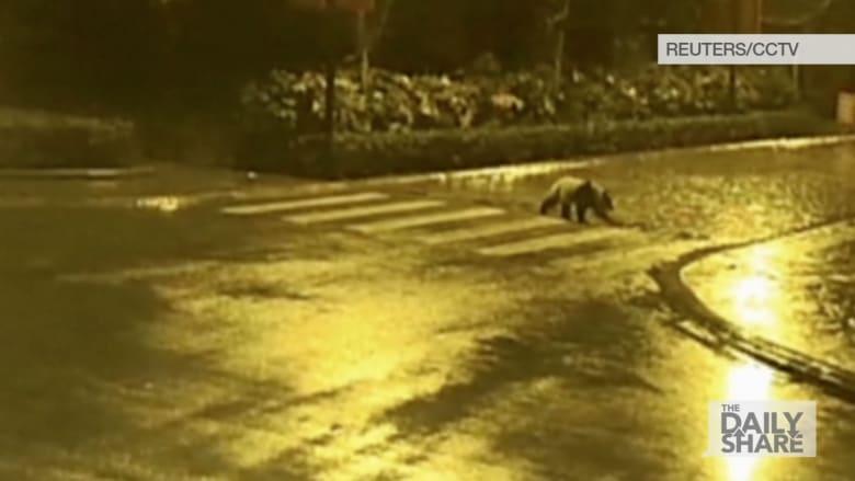 مشهد غريب.. دب باندا يتمشى في الشارع