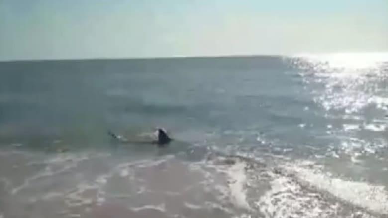 شاهد بالفيديو .. قرش عملاق في مياه ضحلة على شاطئ شعبي