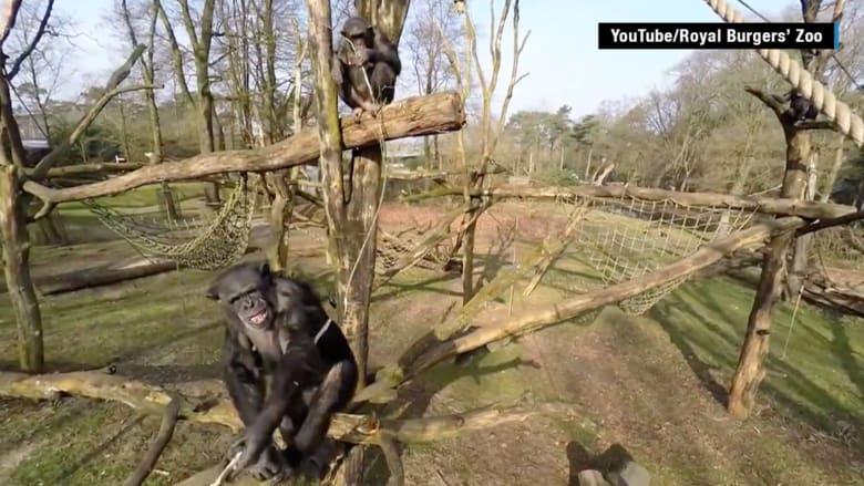 شاهد شمبانزي يطيح بكاميرا طائرة بدون طيار خلال التصوير