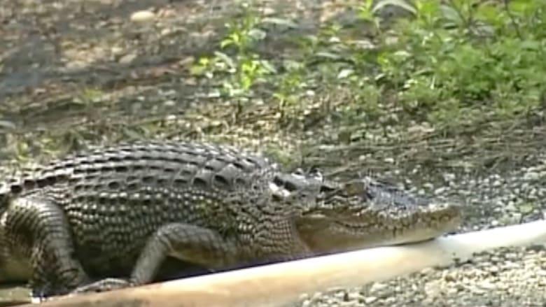 بالفيديو.. تمساح يهاجم لاعب غولف في أستراليا