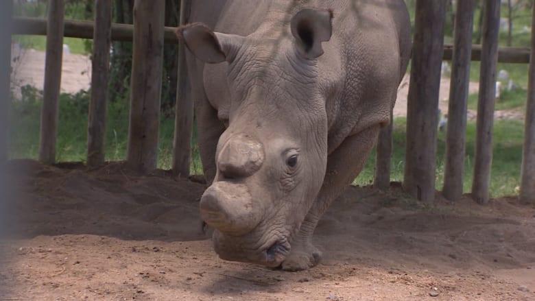 لقطات نادرة.. هذا ذكر وحيد القرن الأخير من فصيلته على وجه الأرض