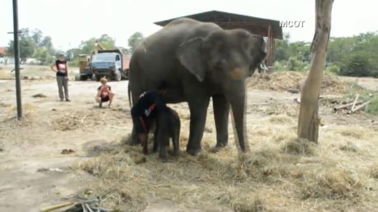 بالفيديو.. أنثى فيل تضع مولودها أمام زوار حديقة للحيوان بتايلاند