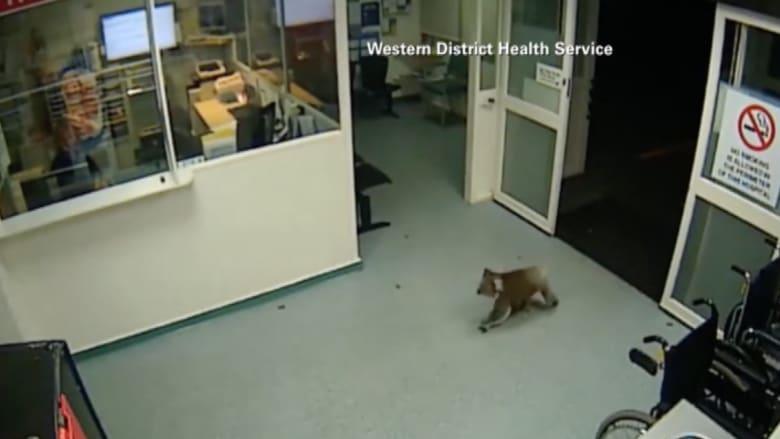 بالفيديو.. دب كوالا يتجول ليلاً داخل مستشفى في أستراليا