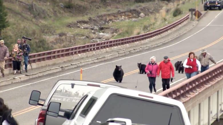 بالفيديو.. أنثى دب تطارد سياحا في مونتانا