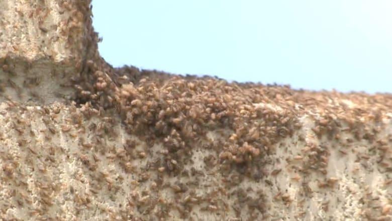 بالفيديو..  مليارات الحشرات تغزو مناطق سكنية بأمريكا