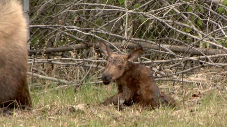 شاهد.. هكذا يتعلم صغير حيوان الأيل المشي بعد ولادته