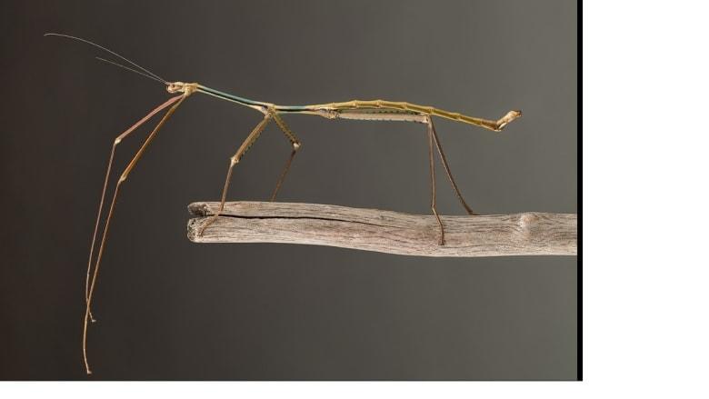 """رغم أن """"العصا العملاق""""  من سلالة الحشرات المعروفة لكن هذا النوع لا يعيش سوى في حديقة  تام داو في فيتنام"""