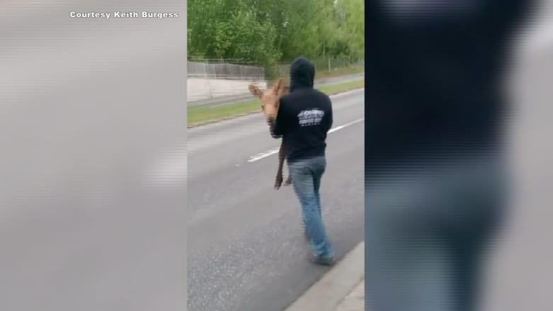 بالفيديو.. شاب ينقذ غزالا تائها في الطريق