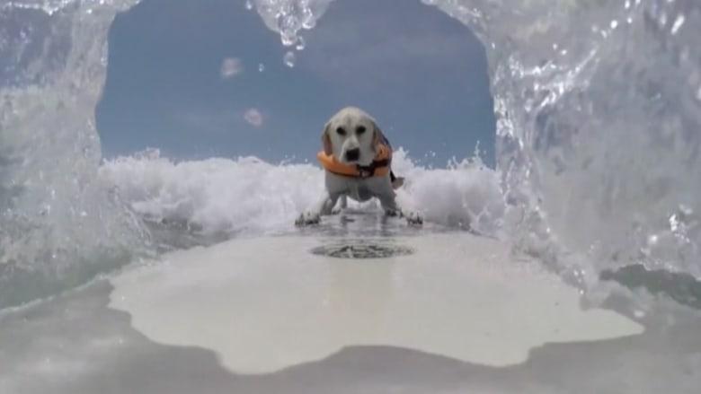بالفيديو.. تصفيات رياضية في ركوب الأمواج للكلاب