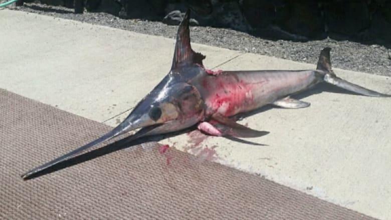 بالفيديو.. سمكة تصطاد صيادها في هاواي وتتركه جثة عائمة