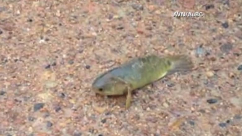 بالفيديو.. سمكة تسير على اليابسة تثير الرعب في أستراليا