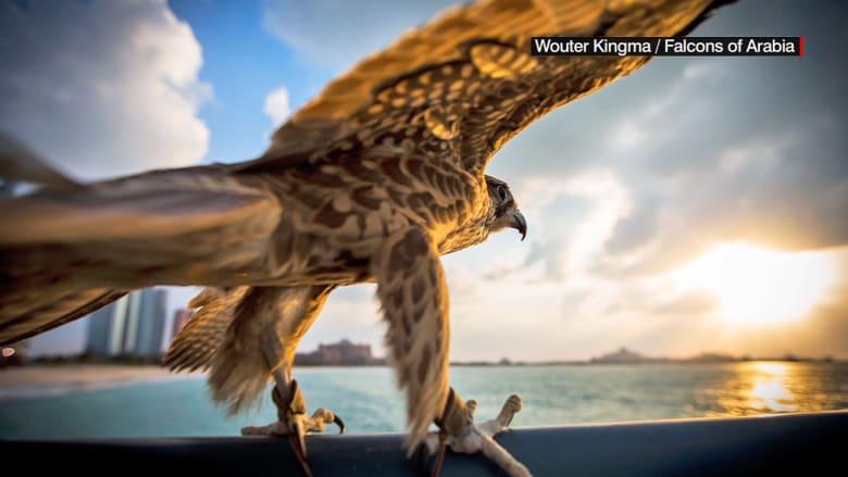 الصيد بالصقور.. شغف في الإمارات تتوارثه الأجيال