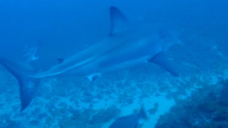 بالفيديو.. سمكة قرش أبيض طولها 5 أمتار