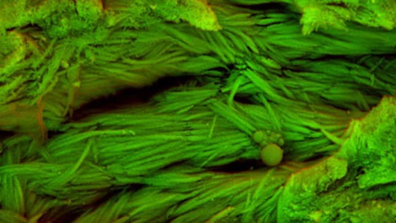 اكتشاف خلايا دم ديناصور تعود إلى 75 مليون سنة