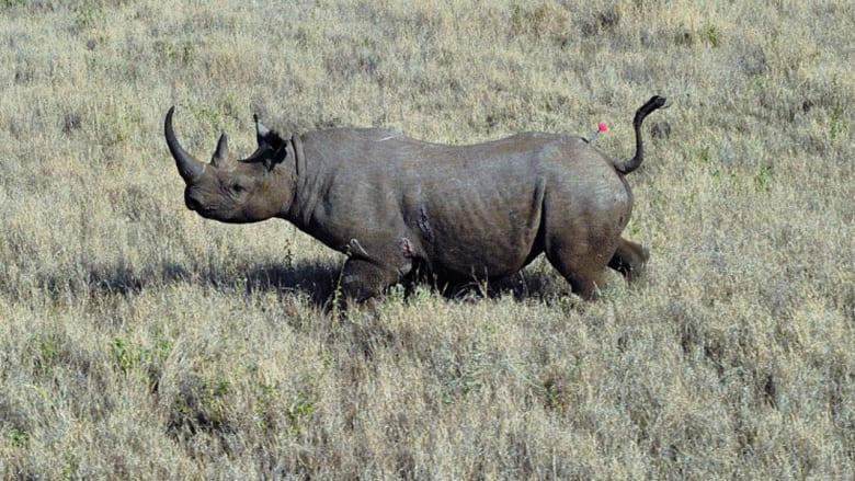 وحيد القرن الأسود